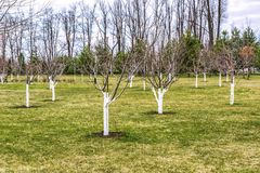 Czerep przygotowywający sad Młodzi drzewa żyłują i zakrywają z ochronną farbą obraz stock