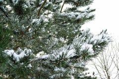 Czerep sosna w śniegu miękkie ogniska, fotografia royalty free