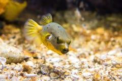 Czerni Łaciastego lub Psiego Stawiającego czoło Puffer ryba Arothron nigropunctatus obrazy stock