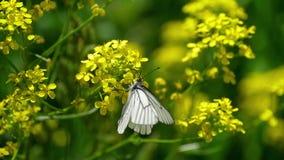Czerni Żyłkowatego Białego motyla na kwiatach żużel zdjęcie wideo