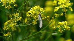 Czerni Żyłkowatego Białego motyla na kwiatach żużel zbiory