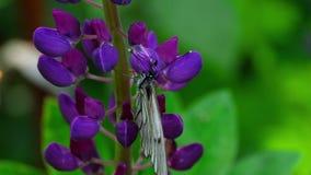 Czerni żyłkowatego białego motyla na kwiatach lupine zbiory