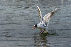 Czerni głowiastego seagull z odmieniania upierzeniem łapie kawałek chleb w locie zdjęcia royalty free