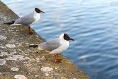 Czerni głowiaści seagulls Obrazy Stock