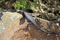 Czerni girdled jaszczurki na przylądka półwysepie (Cordylus Niger) Obraz Royalty Free
