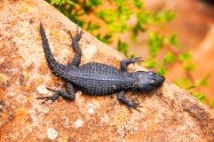 Czerni girdled jaszczurki przy przylądkiem Dobra nadzieja, Południowa Afryka fotografia stock