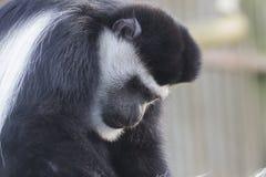 Czerni i Colobus małpa Obraz Royalty Free