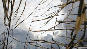 Czerni i koloru żółtego taśmy macha od wiatru w letnim dniu festiwale Popielaty niebo przed ulewnym deszczem zbiory