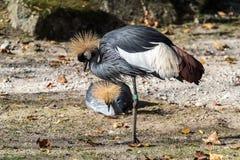 Czerni Koronowanego żurawia, Balearica pavonina w zoo fotografia royalty free