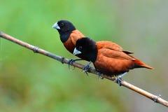 Czerni Munia głowiasty ptak Obrazy Royalty Free