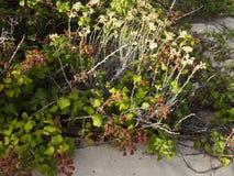 Czernica na diunach Atlantyk wybrzeże Obrazy Royalty Free