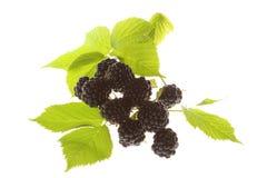 czernicy zielenieją liść zdjęcie royalty free