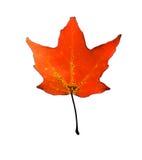 czerwień liści Zdjęcia Royalty Free