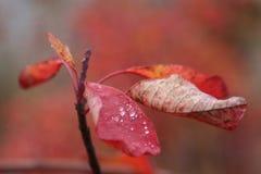 czerwień liści Fotografia Stock