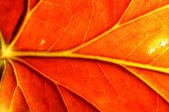 czerwień liści Zdjęcie Royalty Free