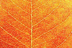 czerwień liści zbliżenie Zdjęcia Stock