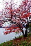 Czerwień opuszcza drzewa przy brzeg jeziora w jesieni, obraz stock