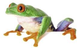 czerwień przyglądał się drzewnej żaby odizolowywającej na białym Costa Rica Zdjęcia Royalty Free