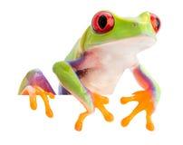 Czerwień przyglądał się małpich drzewnej żaby Agalychnis callidryas Obrazy Royalty Free