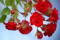 czerwień różany s Zdjęcie Royalty Free