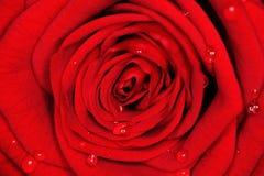 czerwień wzrastał zdjęcie royalty free