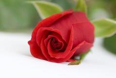 czerwień wzrastał Zdjęcia Royalty Free