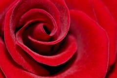 czerwień wzrastał fotografia stock