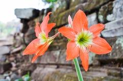 Czerwień kwitnie na ruinach, Loas Zdjęcie Stock