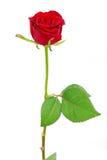 czerwień wzrastał Fotografia Royalty Free