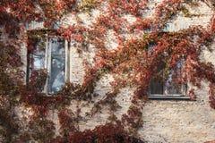 Czerwieniący winogrady rozprzestrzeniający wzdłuż ściany fotografia stock