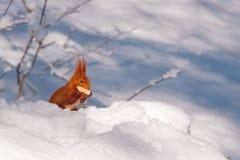 czerwieni śniegu wiewiórka Obraz Royalty Free
