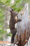 czerwieni śniegu wiewiórka zdjęcia royalty free