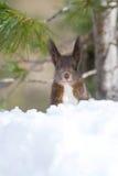 czerwieni śniegu wiewiórka obraz stock