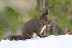 czerwieni śniegu wiewiórka zdjęcie royalty free