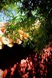 czerwieni oszklona płytka Fotografia Royalty Free