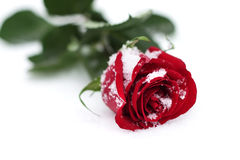 czerwieni róży śnieg Fotografia Stock