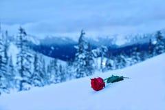 czerwieni róży śnieg W pamięci kocham jeden zdjęcia royalty free