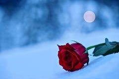 czerwieni róży śnieg W pamięci nasi bliscy obraz stock
