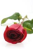 czerwieni róży biel obrazy royalty free