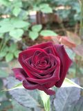 Czerwieni róża w ogródzie fotografia royalty free