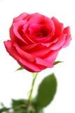 czerwieni róży biel Obrazy Stock