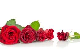 czerwieni róży biel obraz stock