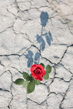 czerwieni róży cień Obrazy Royalty Free