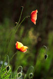 czerwieni świrzepy dwa Fotografia Stock