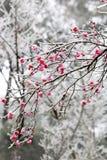 czerwoną do zimy Zdjęcia Stock