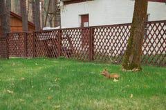 Czerwona śliczna wiewiórka trzyma orzecha włoskiego Obraz Stock