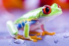 Czerwona żaba obrazy stock