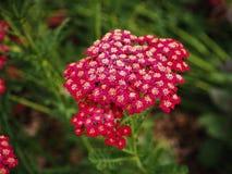 Czerwona aksamitna krwawnika Achillea millefolium kwiatu głowa fotografia royalty free