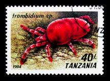 Czerwona Aksamitna lądzieniec (Trombidium sp ), pajęczaka seria około 1994, fotografia stock