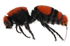 Czerwona Aksamitna Mrówka Zdjęcie Stock